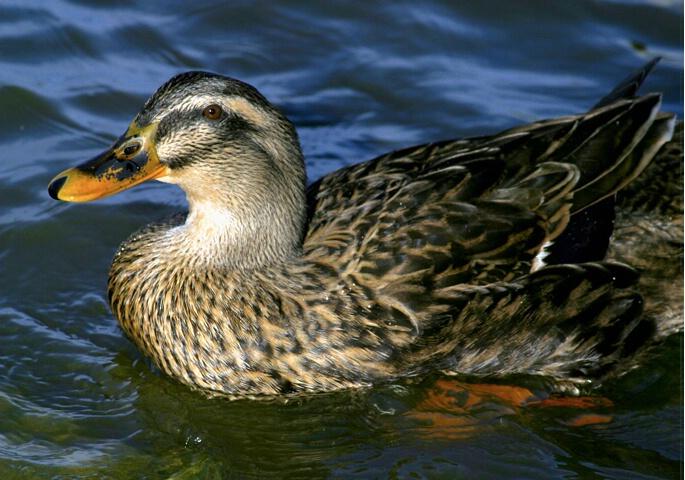 Ms. Duck - ID: 71782 © Rhonda Maurer