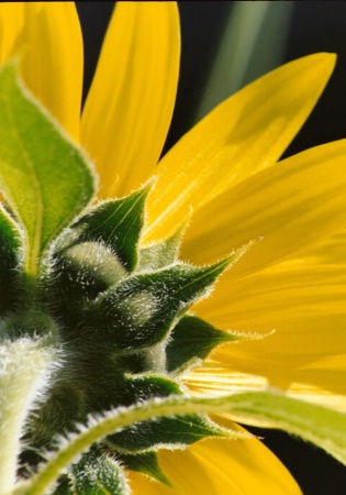 Sunflower's back