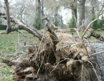 Mourned Tree