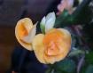 Peach Begonia