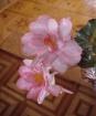 Begonia & Woo...