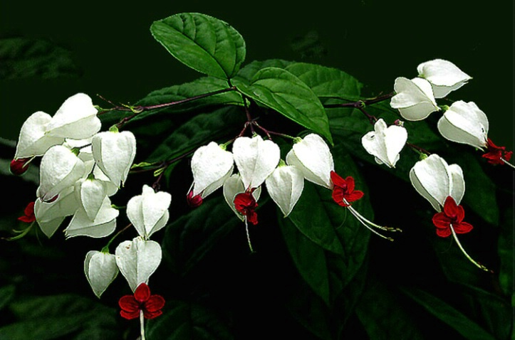 Clerodendron Vine