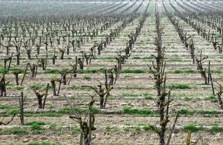 Infinite Vineyard
