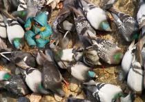 Transgenics Pigeons