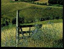 Lavender on Fence-Tuscany