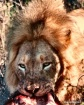 Lion Kill - Timba...