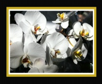 Sprig of White Orchids