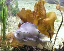 Little lavender fish