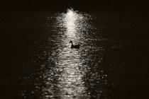 Duck Silhouette 1