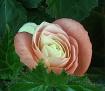 """""""A rose by an..."""