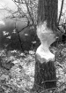 Beaver Tree at Es...