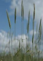 grass lines
