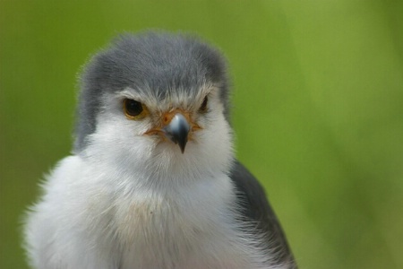 Portrait of a Falcon