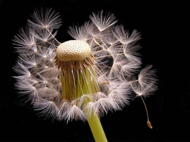 Incredible Dandelion