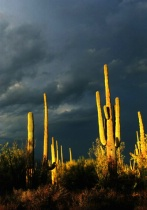 Saguaro and Stormy Sky