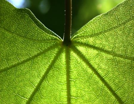 ~Maple Leaf~