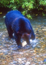 Grizzley Bear with Salmon
