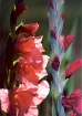 Gladiolus soaking...