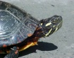 Snapping Turtle P...