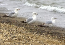 Three Sea Gulls