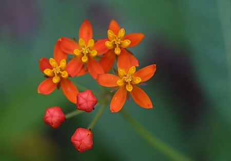 Butterfly Weed Blooms