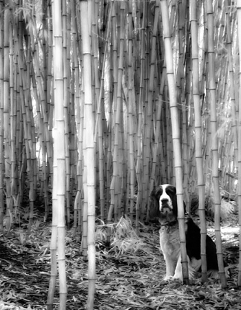 Dog in Bamboo Grove