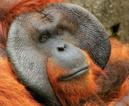 Portrait of an Orangutan