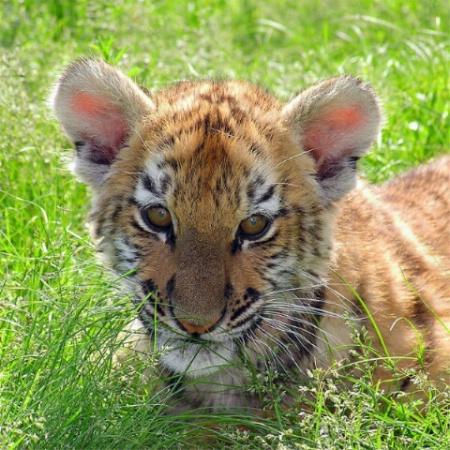 Tranquil Tiger Cub