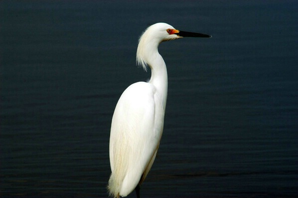 Egret Waiting for Dinner - ID: 126979 © GARY  L. ROHRBAUGH