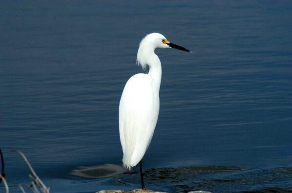 Egret - ID: 126988 © GARY  L. ROHRBAUGH