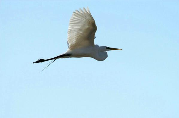 Egret During Flight - ID: 126995 © GARY  L. ROHRBAUGH