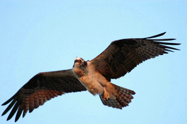 Osprey - ID: 127399 © GARY  L. ROHRBAUGH