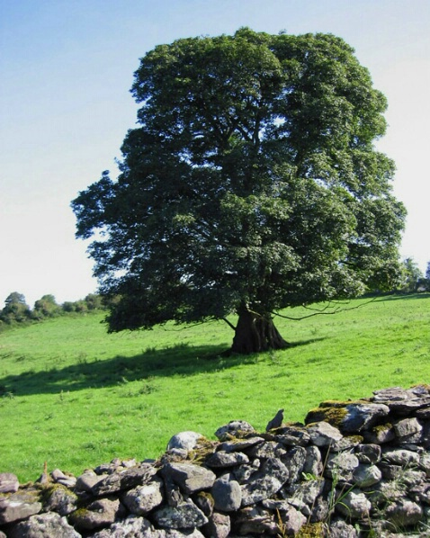 A Tree Grows in Ireland
