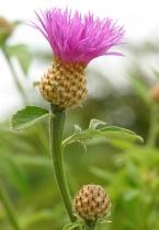Ironweed Bloom