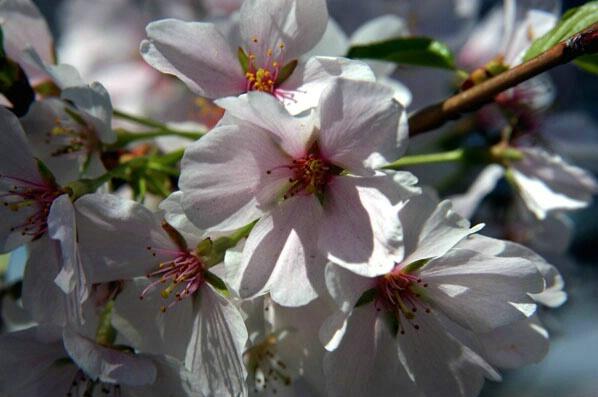 Cherry Blossoms - ID: 127668 © GARY  L. ROHRBAUGH