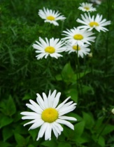 Daisies with Mr. Green Jeans