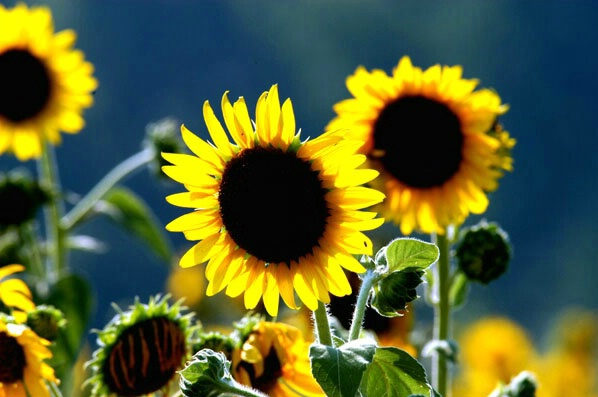 Sunflowers - ID: 129526 © GARY  L. ROHRBAUGH