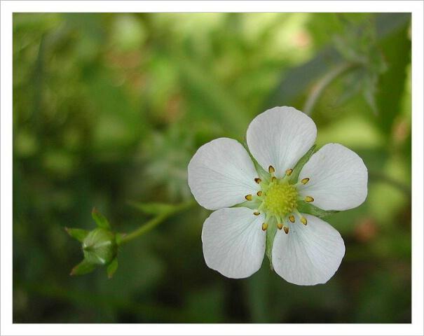 Wild straberryflower