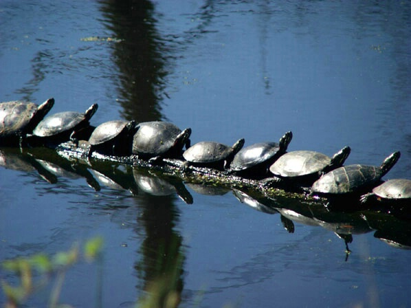 Turtles in a Row - ID: 132216 © GARY  L. ROHRBAUGH
