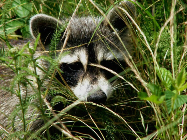 Racoon - ID: 132276 © GARY  L. ROHRBAUGH