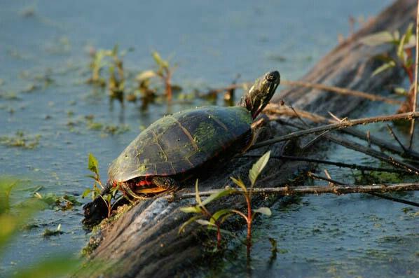 Turtle - ID: 132303 © GARY  L. ROHRBAUGH
