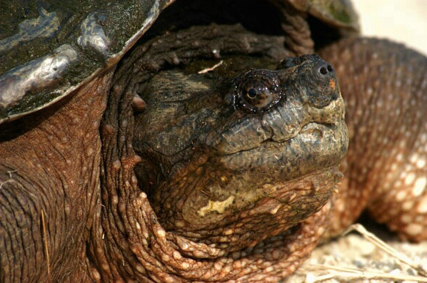 Turtle - ID: 132304 © GARY  L. ROHRBAUGH