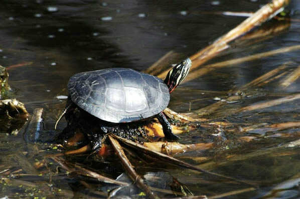 Turtle - ID: 132305 © GARY  L. ROHRBAUGH