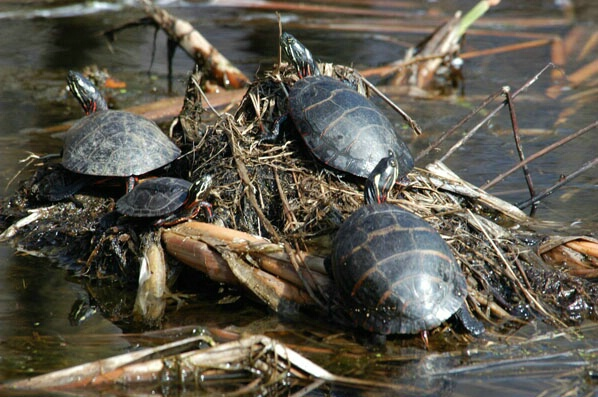 Turtles - ID: 132306 © GARY  L. ROHRBAUGH