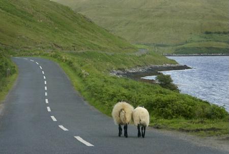 Sheep Go For a Walk