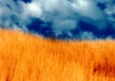 Amber Waves of Gr...