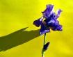 Iris Shadow Play