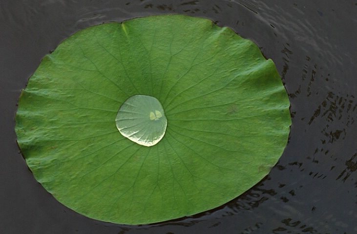 Uncertain Lilly Pad