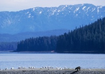 Grizzly and Gulls, Alaska