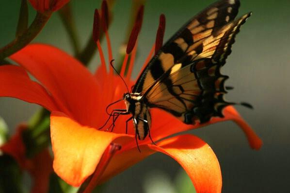 Monarch Feeding - ID: 140811 © GARY  L. ROHRBAUGH